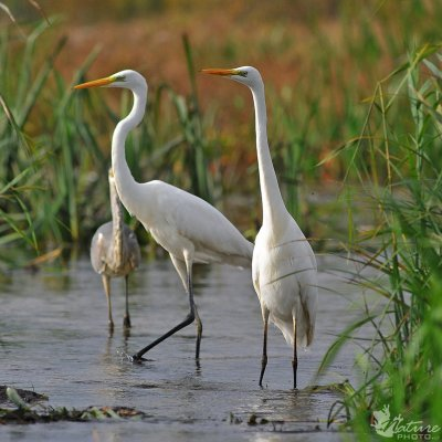 The great egret /Egretta alba