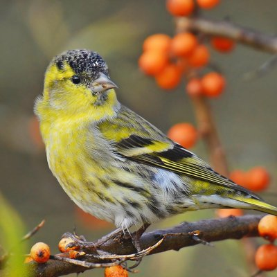 The Eurasian siskin /Spinus spinus