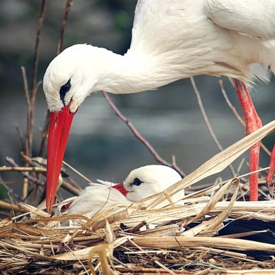 The white stork (Ciconia ciconia)