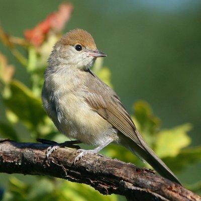 The garden warbler /Sylvia borin
